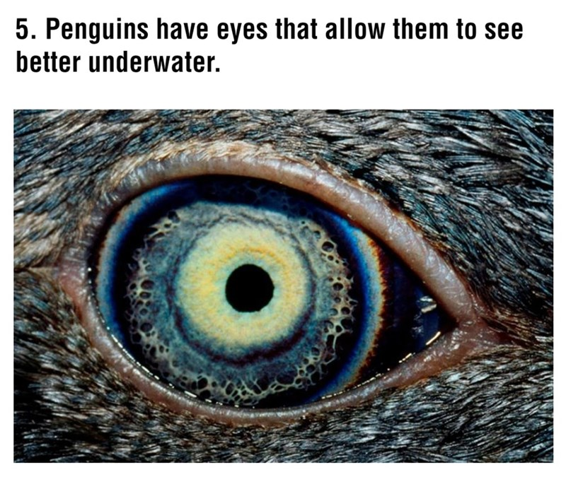 Eye - 5. Penguins have eyes that allow them to see better underwater.