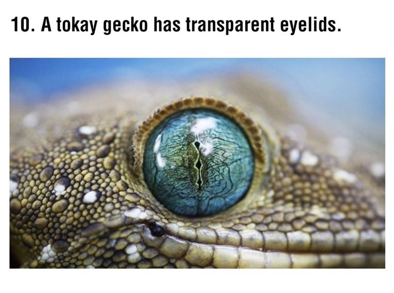 Reptile - 10. A tokay gecko has transparent eyelids.
