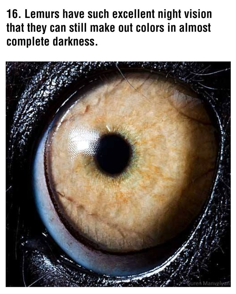 Iris - 16. Lemurs have such excellent night vision that they can still make out colors in almost complete darkness. Suren Manvelyan
