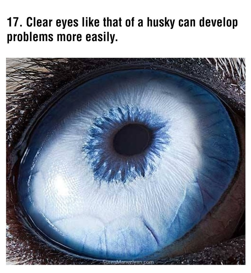 Iris - 17. Clear eyes like that of a husky can develop problems more easily. SurenManvelyan.com