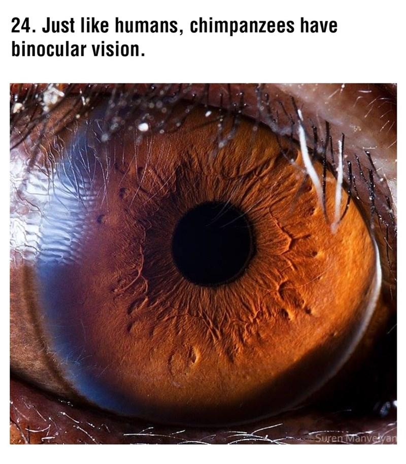 Eye - 24. Just like humans, chimpanzees have binocular vision. Suren Manvelvan