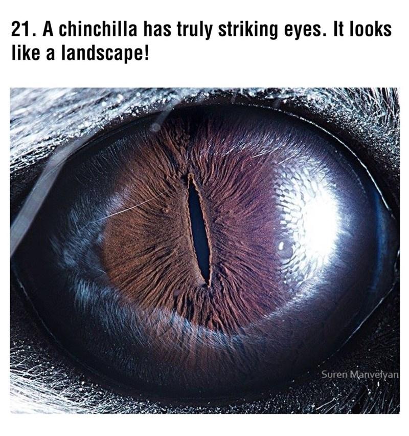 Eye - 21. A chinchilla has truly striking eyes. It looks like a landscape! Suren Manvefyan