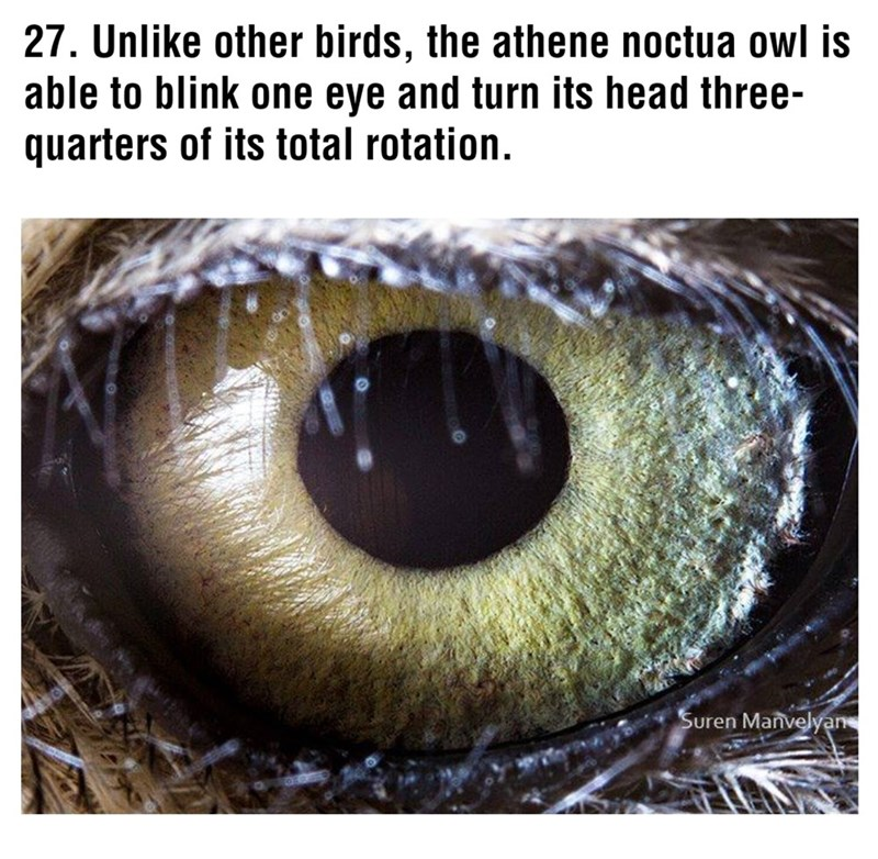 Eye - 27. Unlike other birds, the athene noctua owl is able to blink one eye and turn its head three- quarters of its total rotation. Suren Manvelyan