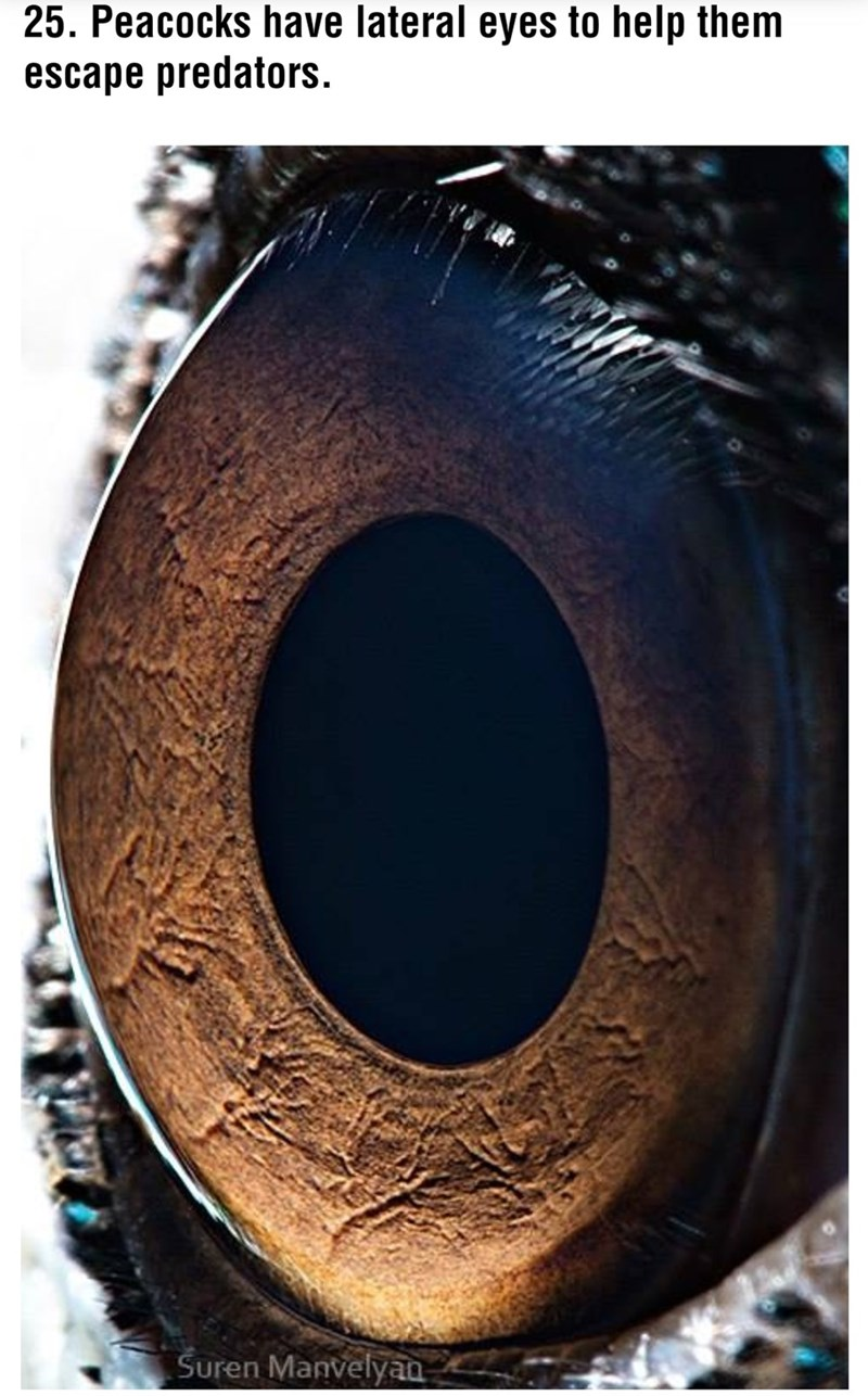 Eye - 25. Peacocks have lateral eyes to help them escape predators. Suren Manvelyaa