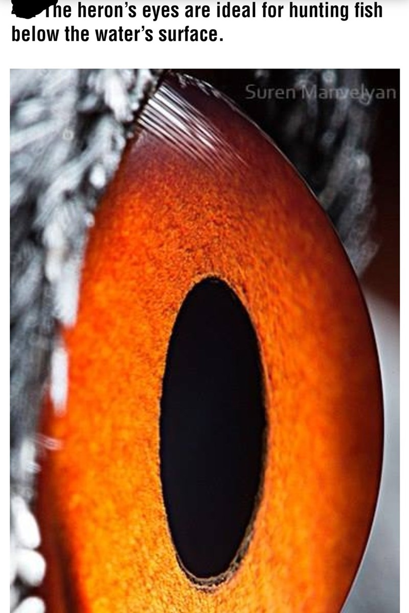 Eye - he heron's eyes are ideal for hunting fish below the water's surface. Suren Margelyan
