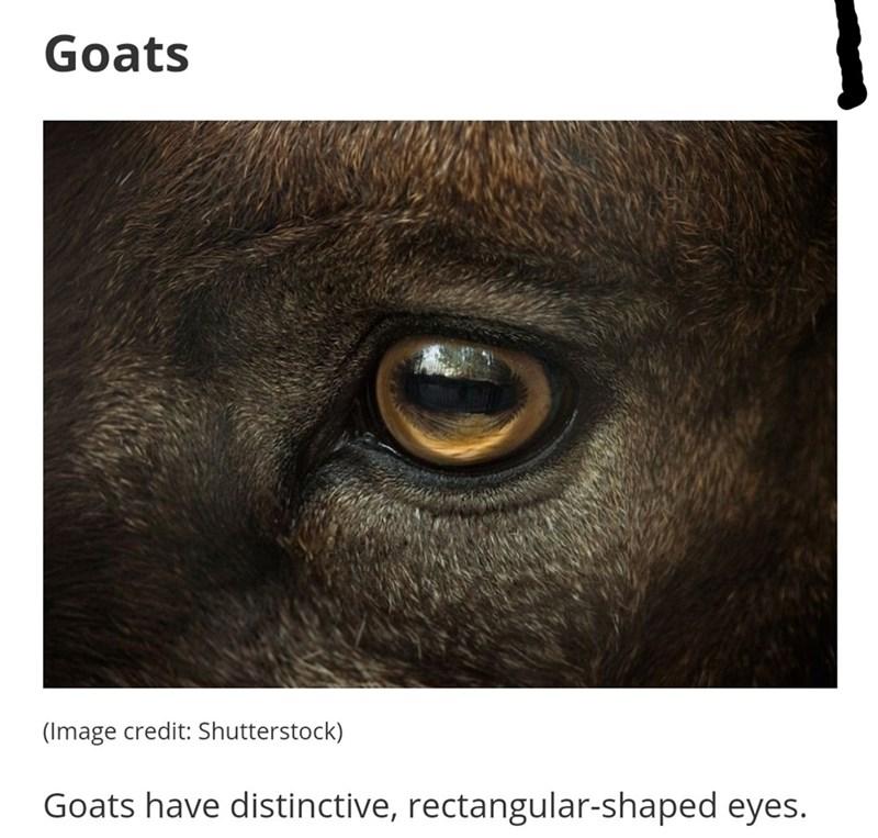 Skin - Goats (Image credit: Shutterstock) Goats have distinctive, rectangular-shaped eyes.