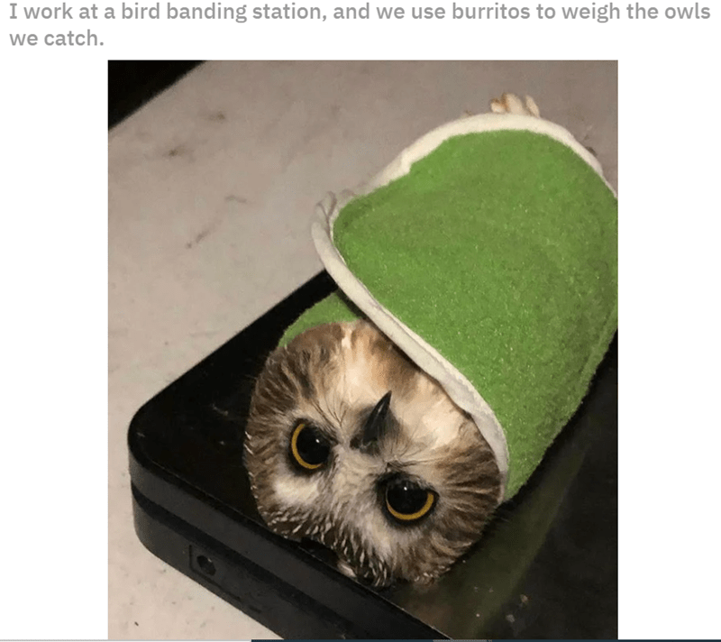 Owl - I work at a bird banding station, and we use burritos to weigh the owls we catch.