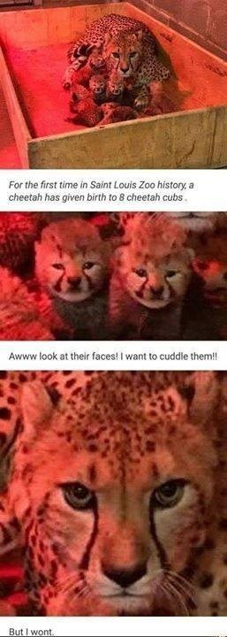For the first time in Saint Louis Zoo history a cheetah has given birth to 8 cheetah cubs. Awww look at their faces! I want to cuddle them!! but i won't mama cheetah protecting her babies