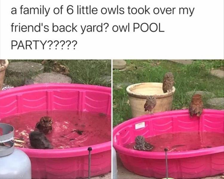 a family of 6 little owls took over my friend's back yard? owl POOL PARTY?????