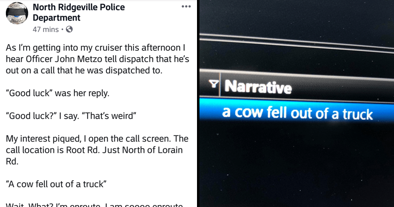 Funny story on Facebook from North Ridgeville Police department in texas, cow fell out of truck, moodini.
