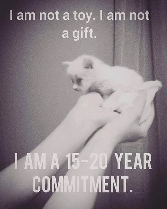 tiny white kitten held up by a person I am not a toy. I am not a gift. i am 15 20 year commitment