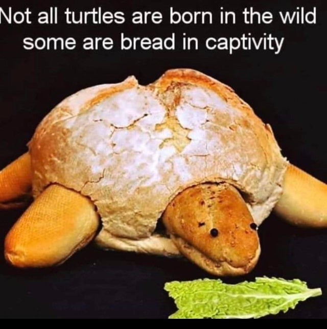 Turtle - Not all turtles are born in the wild some are bread in captivity