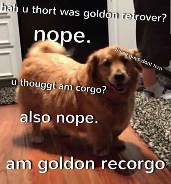Dog breed - hah u thort was goldon retrover? nope. these guys dont lern u thouggt am corgo? also nope. am goldon recorgo
