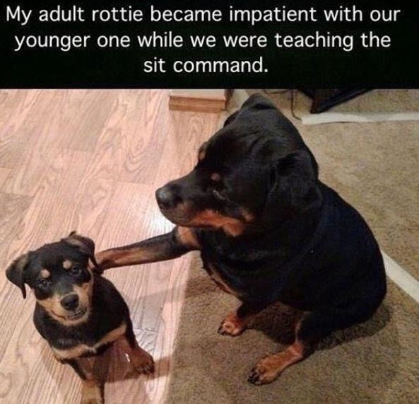 Dog - My adult rottie became impatient with our younger one while we were teaching the sit command.