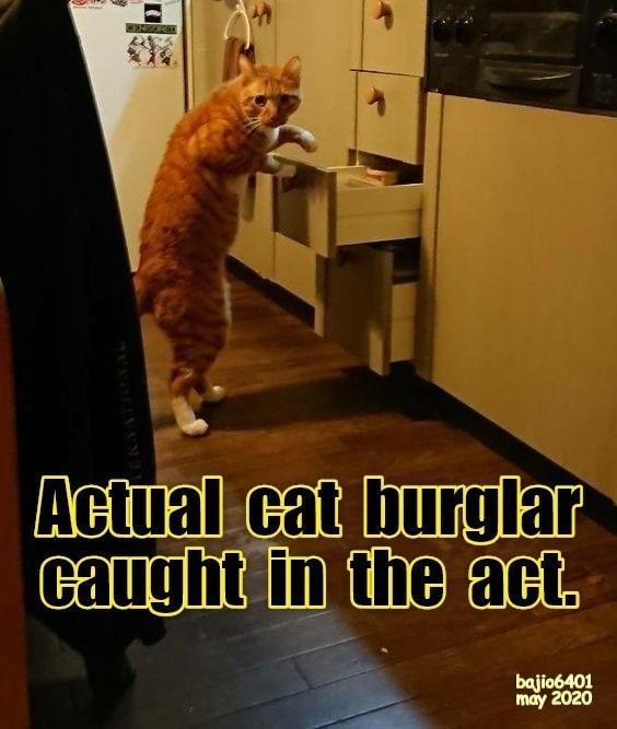 Cat - CENORET Actual cat burglar caught in the act. bajio6401 may 2020