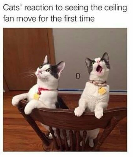 Cat - Cats' reaction to seeing the ceiling fan move for the first time