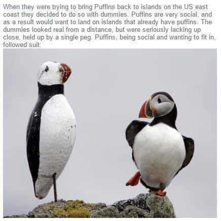 Bird - When they were trying to bring Puffins back to islands on the US east coast they decided to do so with dummies. Puffins are very social, and as a resuit would want to land on islands that already have puffins. The dummies looked real from a distance, but were seriously lacking up close, held up by a single peg. Puffins, being social and wanting to fit in, followed suit