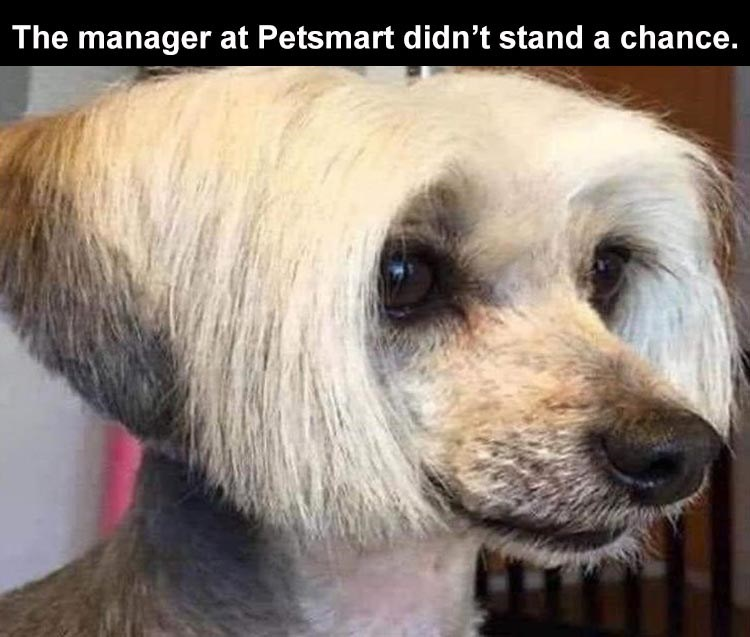 The manager at Petsmart didn't stand a chance. dog with karen haircut