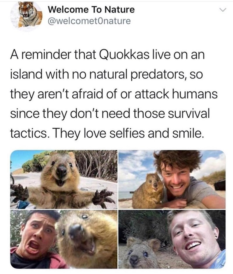 Adaptation - Welcome To Nature @welcometOnature A reminder that Quokkas live on an island with no natural predators, so they aren't afraid of or attack humans since they don't need those survival tactics. They love selfies and smile.