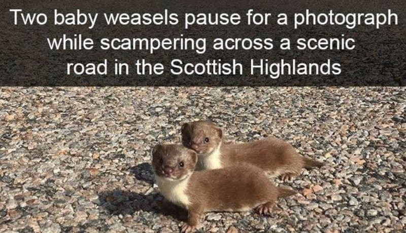 Weasel - Two baby weasels pause for a photograph while scampering across a scenic road in the Scottish Highlands