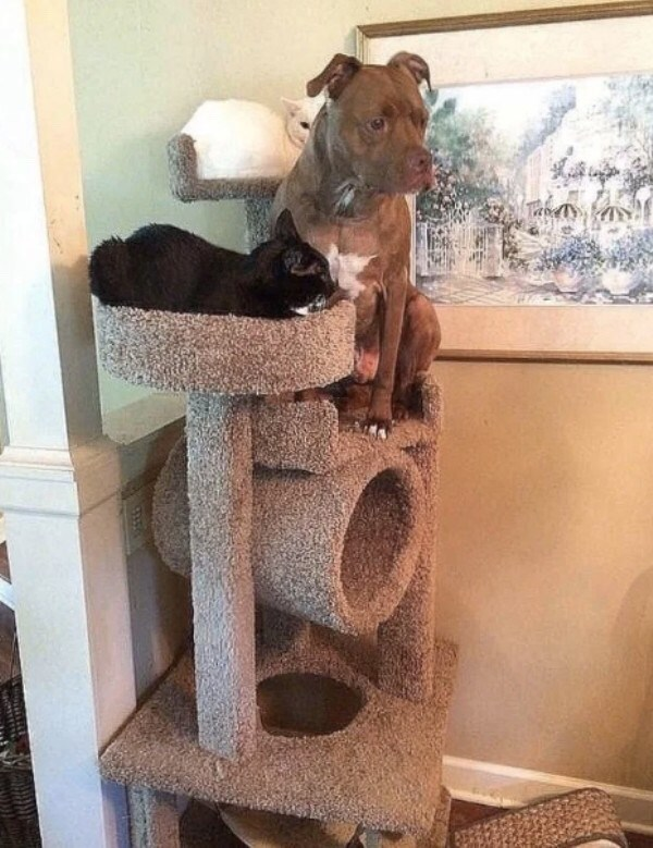 cute animal meme of a dog chilling with two other cats on their cat tower