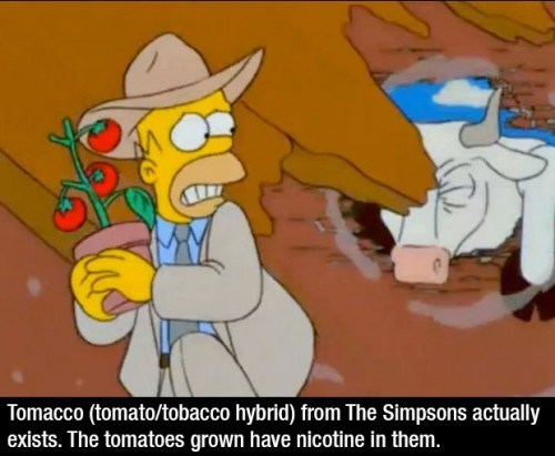 Cartoon - Tomacco (tomato/tobacco hybrid) from The Simpsons actually exists. The tomatoes grown have nicotine in them.