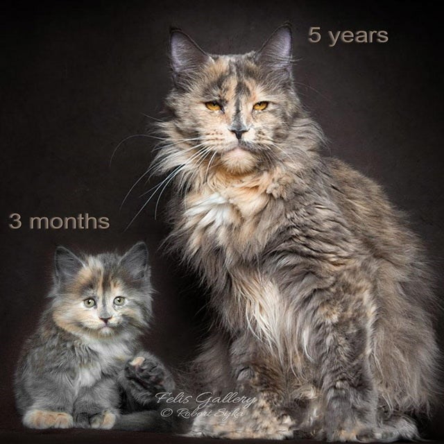 Cat - 5 years 3 months Felis Gallery O Rebgit Siyka