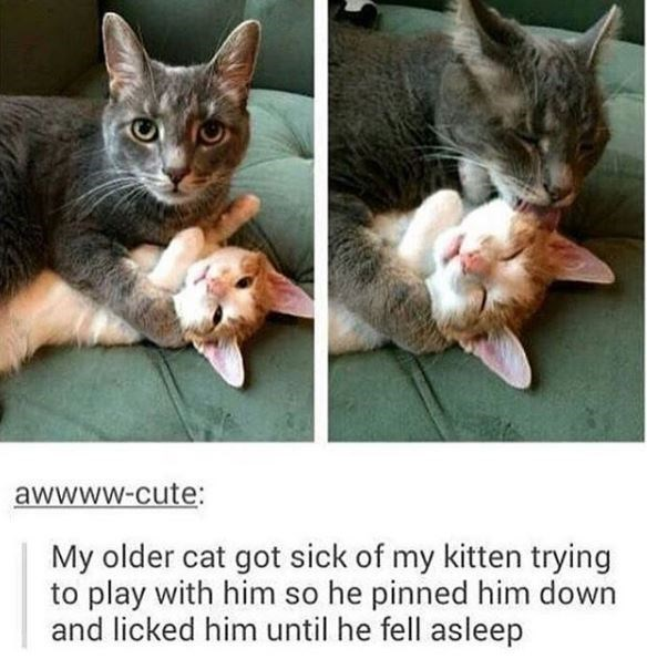 Cat - awwww-cute: My older cat got sick of my kitten trying to play with him so he pinned him down and licked him until he fell asleep