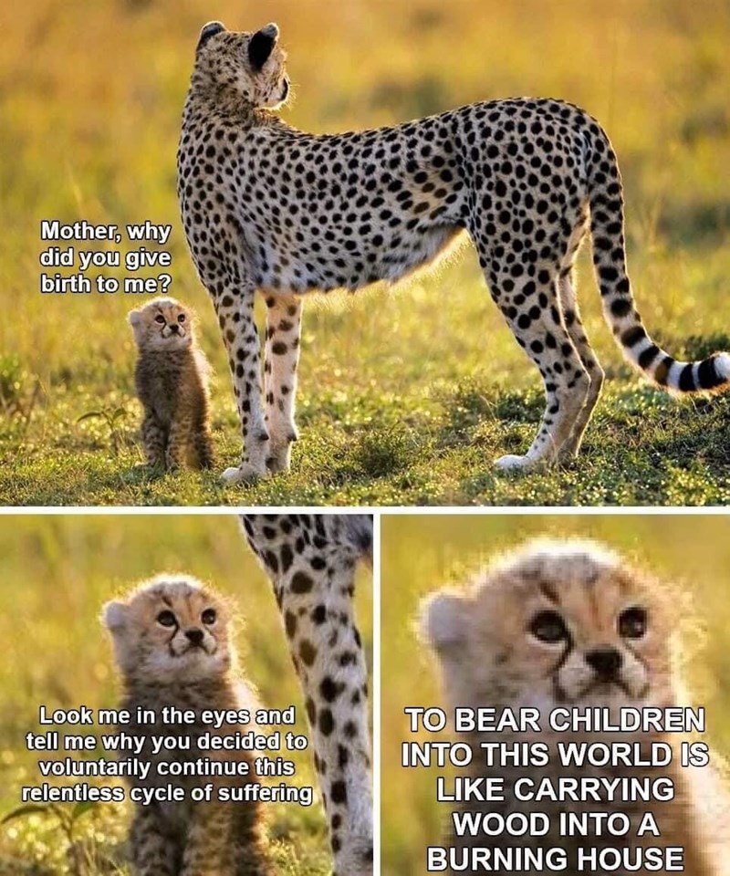 "Funny meme with a cute baby cheetah and its mother, where it asks her why she gave birth to him to ""continue this relentless cycle of suffering"" 
