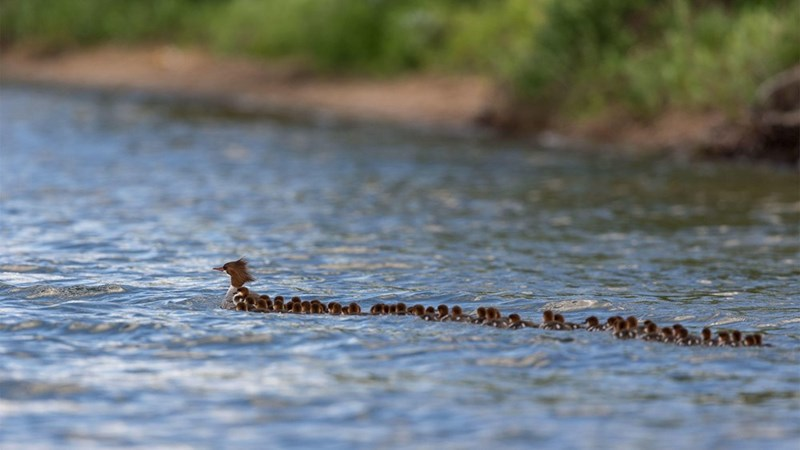 amazing animal photo of a mama duck swimming in a river followed by a long row of 56 ducklings