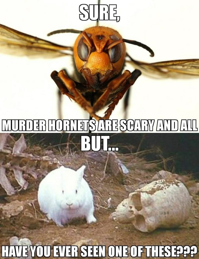 Insect - SURE, MURDER HORNETS ARESCARY AND ALL BUT. HAVE YOU EVER SEEN ONE OF THESE???