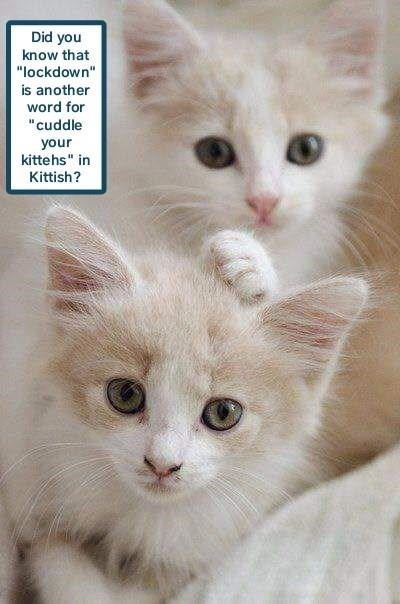 """Cat - Did you know that """"lockdown"""" is another word for """"cuddle your kittehs"""" in Kittish?"""