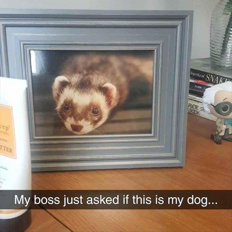 My boss just asked if this is my dog... framed photo of a ferret on an office desk
