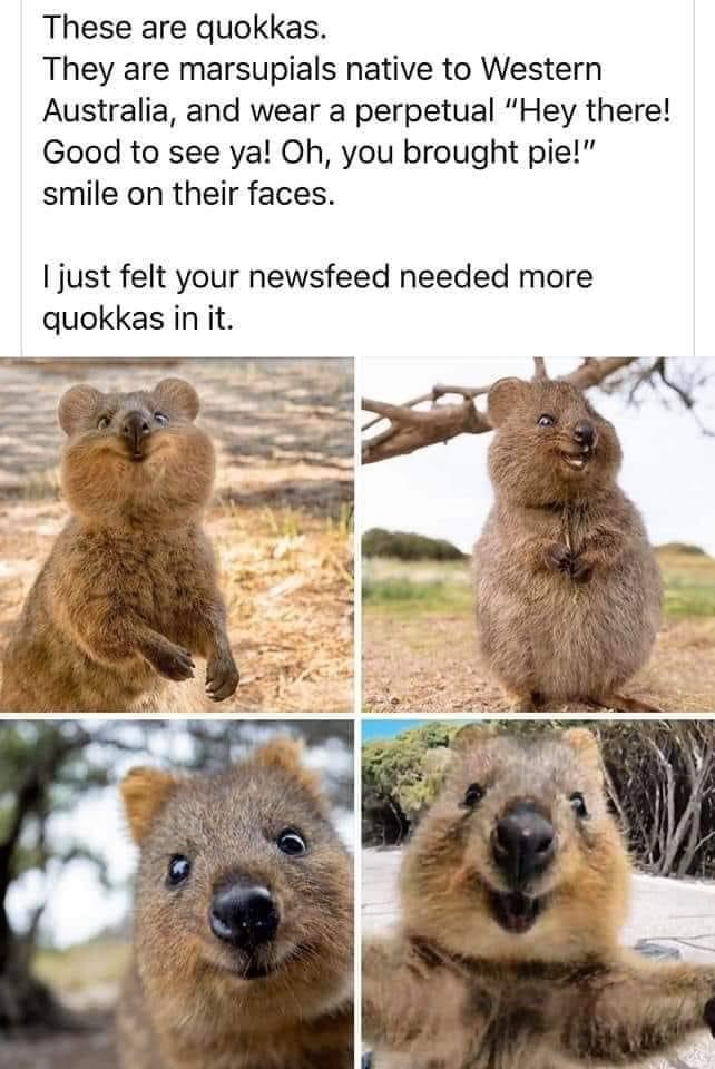 """Mammal - These are quokkas. They are marsupials native to Western Australia, and wear a perpetual """"Hey there! Good to see ya! Oh, you brought pie!"""" smile on their faces. I just felt your newsfeed needed more quokkas in it."""