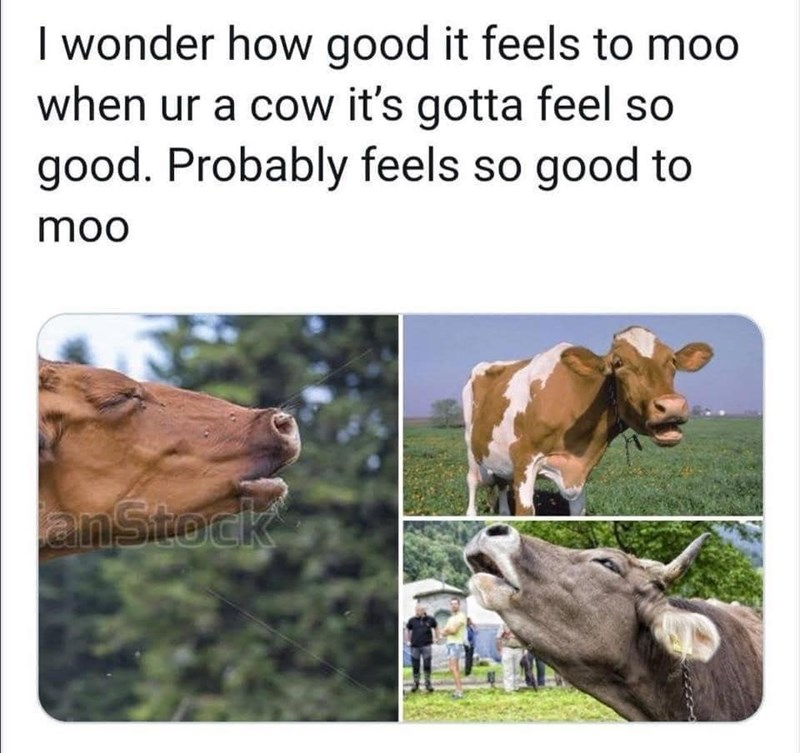 "Funny meme that reads, ""I wonder how good it feels to moo when you're a cow it's gotta feel so good. Probably feels so good to moo"" above pics of cows mooing"