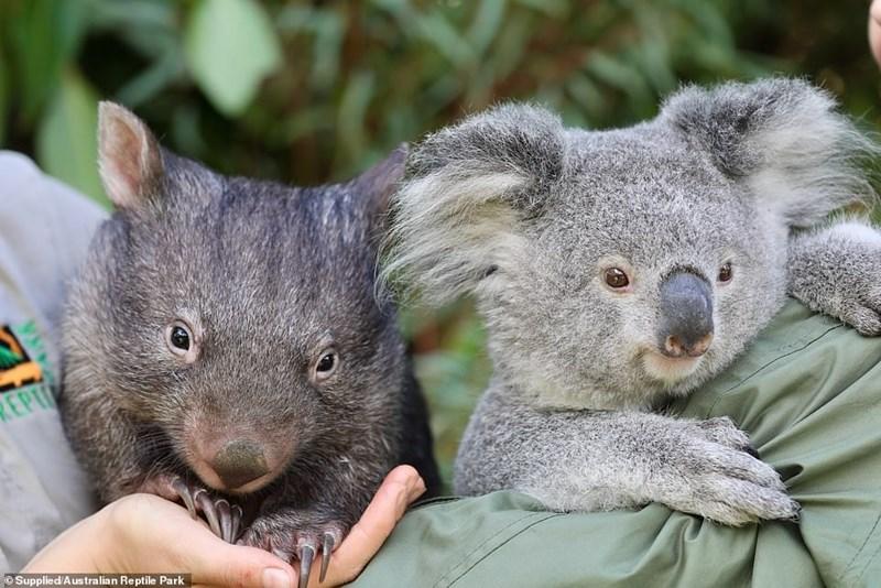 Koala - REPU © Supplied/Australian Reptile Park