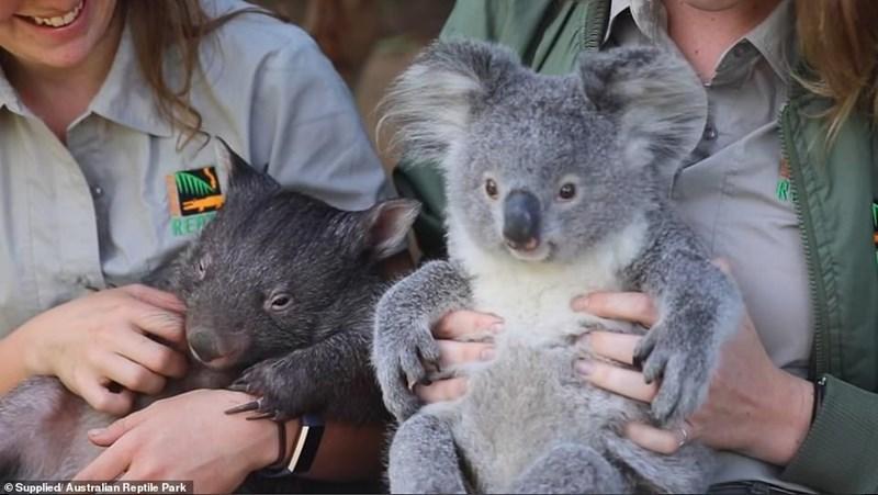 Koala - © Supplied Australian Reptile Park