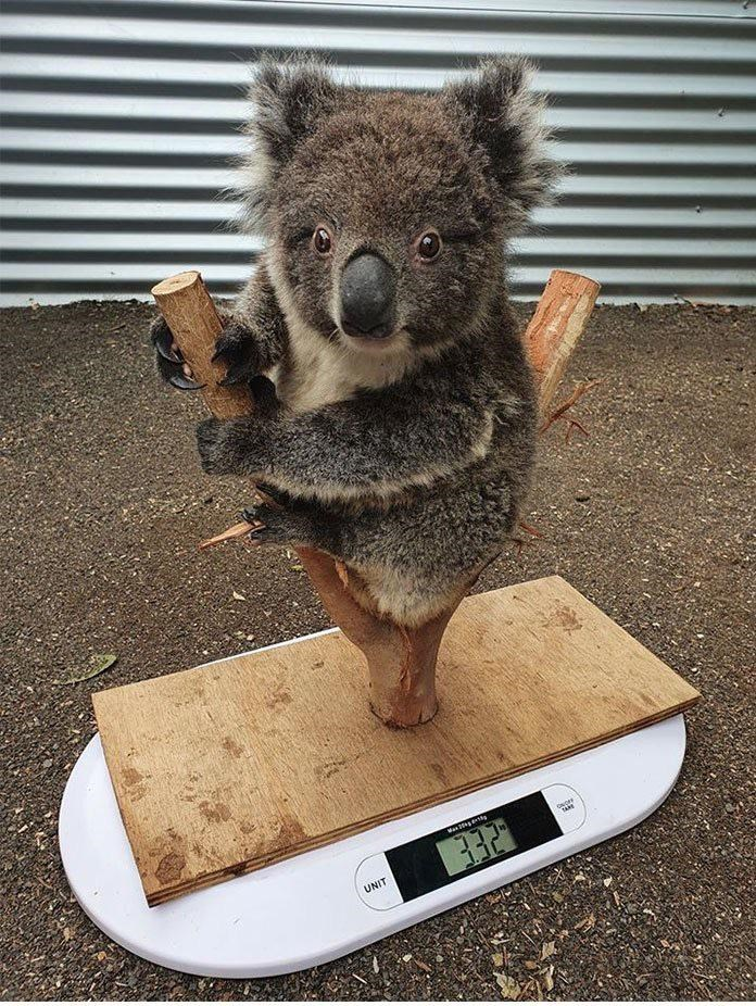 cute baby koala sitting in a tree branch attached to a plank so it can be weighted 3.32 kilograms
