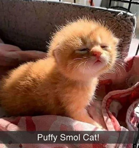 Cat - Puffy Smol Cat!