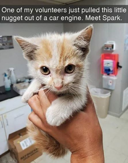 Cat - One of my volunteers just pulled this little nugget out of a car engine. Meet Spark. REFRAGERA AAPAN AWAMe