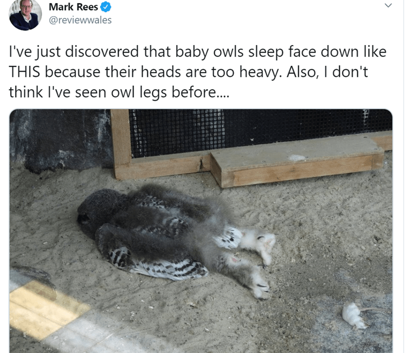 Cat - Mark Rees @reviewwales I've just discovered that baby owls sleep face down like THIS because their heads are too heavy. Also, I don't think I've seen owl legs before..