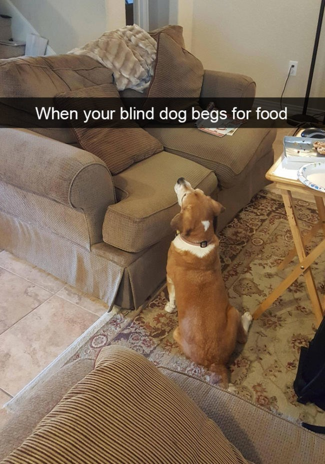 Fawn - When your blind dog begs for food