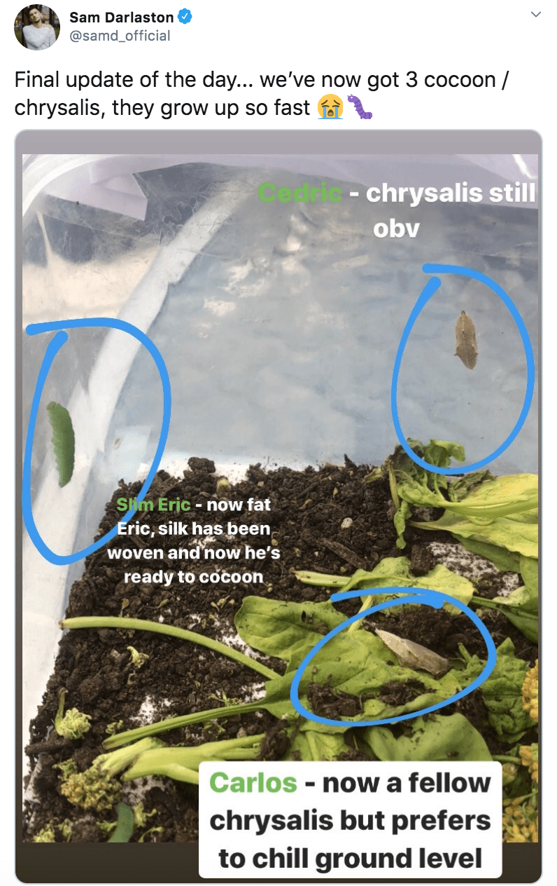 Terrestrial plant - Sam Darlaston @samd_official Final update of the day... we've now got 3 cocoon / chrysalis, they grow up so fast f - chrysalis still obv Slim Eric - now fat Eric, silk has been woven and'now he's ready to cocoon Carlos - now a fellow chrysalis but prefers to chill ground level %3D