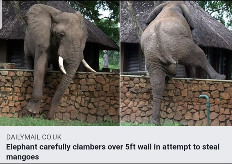 Elephant - DAILYMAIL.CO.UK Elephant carefully clambers over 5ft wall in attempt to steal mangoes