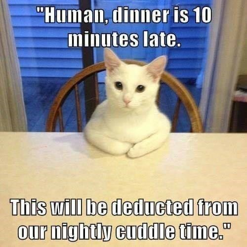 Human, dinner is 10 minutes late. This Will be deducted from our nightly cuddle time | white cat sitting seriously at a table