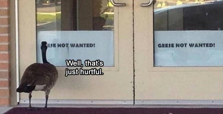 GEESE NO WANTED! Well, that's just hurtful. NOT WANTED! funny bird meme goose looking at a sign on a door