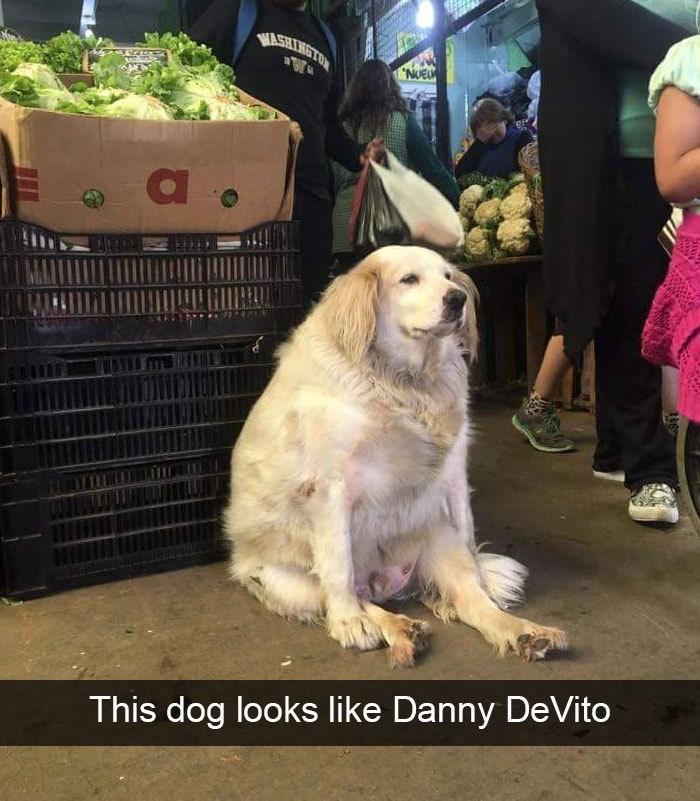 Dog - WASHINGTO NUEL This dog looks like Danny DeVito