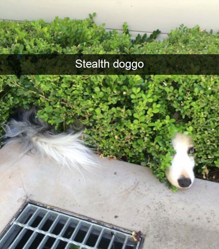 Shrub - Stealth doggo