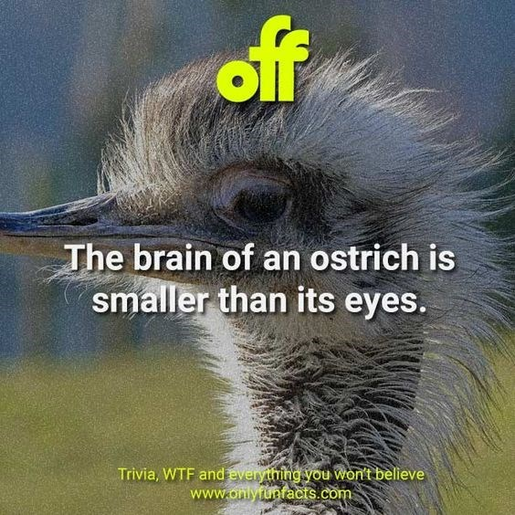 Bird - off The brain of an ostrich is smaller than its eyes. Trivia, WTF and everything you won't believe www.onlyfunfacts.com