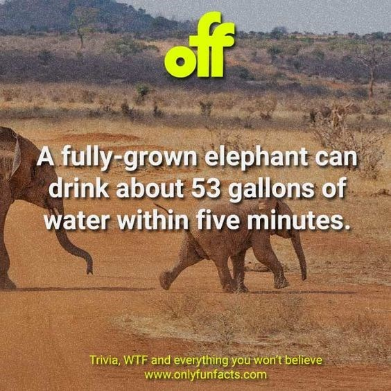 Wildlife - of A fully-grown elephant can drink about 53 gallons of water within five minutes. Trivia, WTF and everything you won't believe www.onlyfunfacts.com